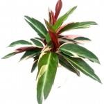 Calathea Stromanthe Triostar