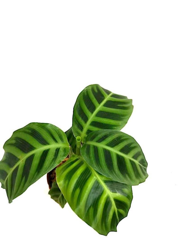Calathea Zebrina » Foliage