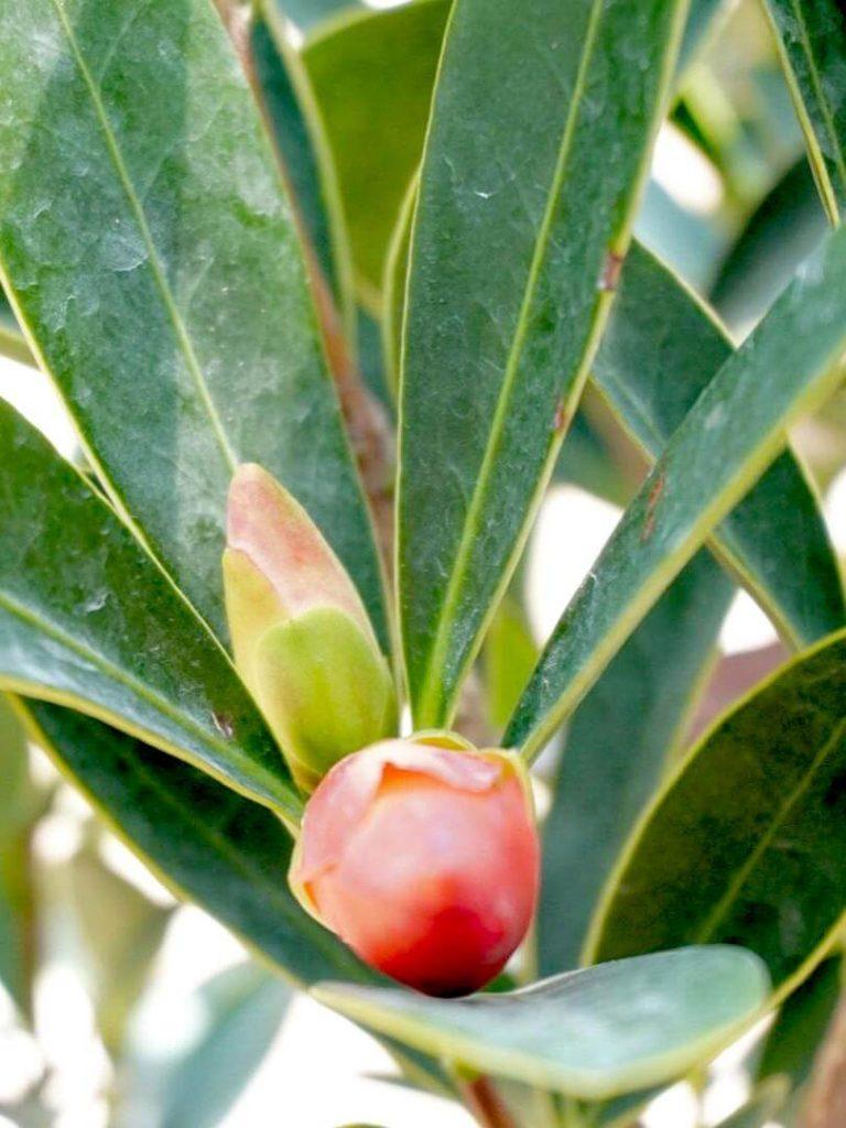 Camellia Fruit » Flowering Plants
