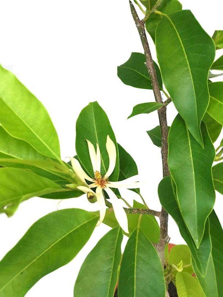 Magnolia Champaca Flower » Flowering Plants
