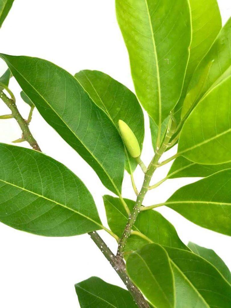 Magnolia Champaca Flower Bud » Flowering Plants