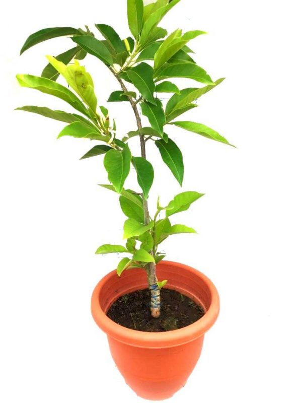 Magnolia Champaca Plant » Flowering Plants