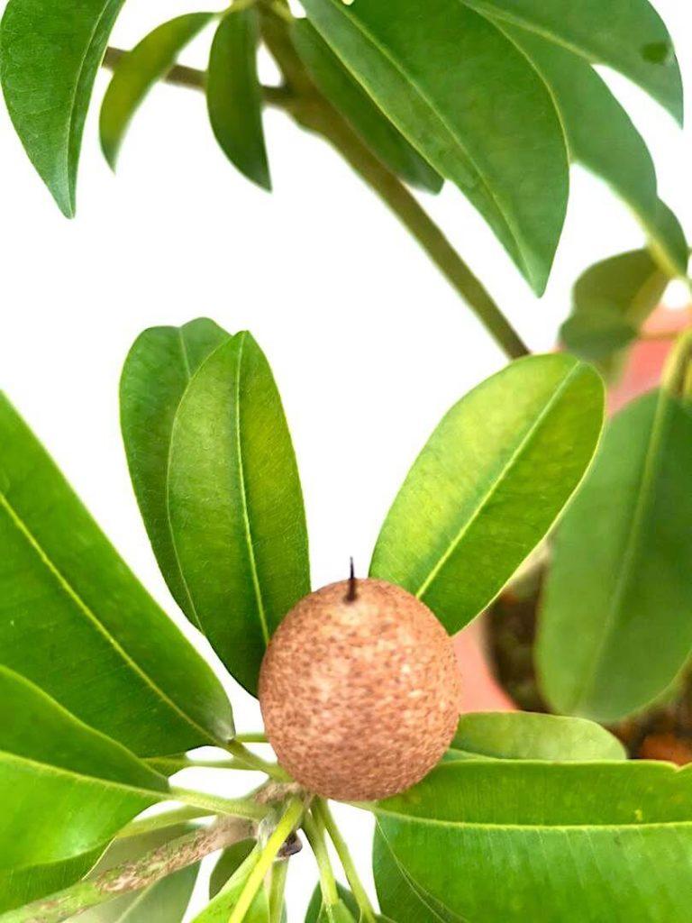 Chiku Fruit » Fruit Trees