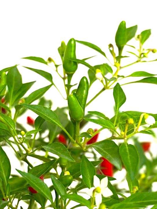 Chilli Padi » Fruit Trees