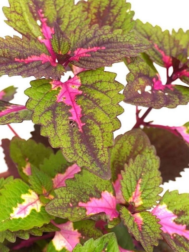 Coleus Plant » Foliage