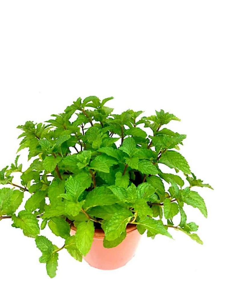 Common Mint » Herbs n' Spices