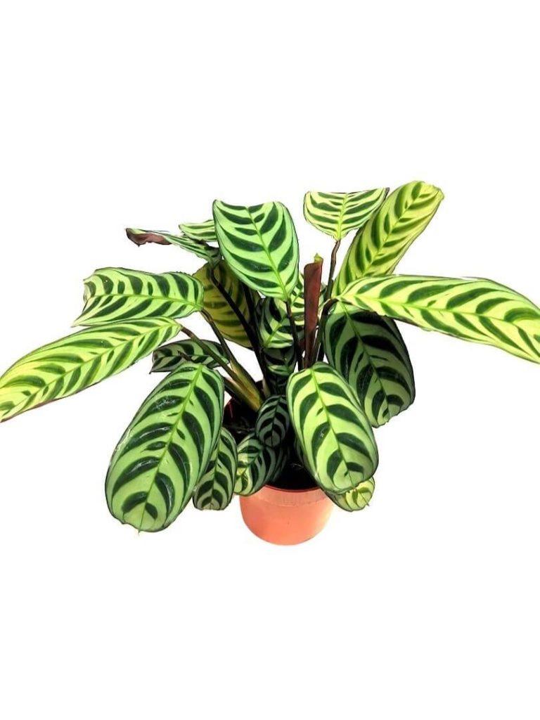 Ctenanthe Burle-Marxii Amabilis » Foliage