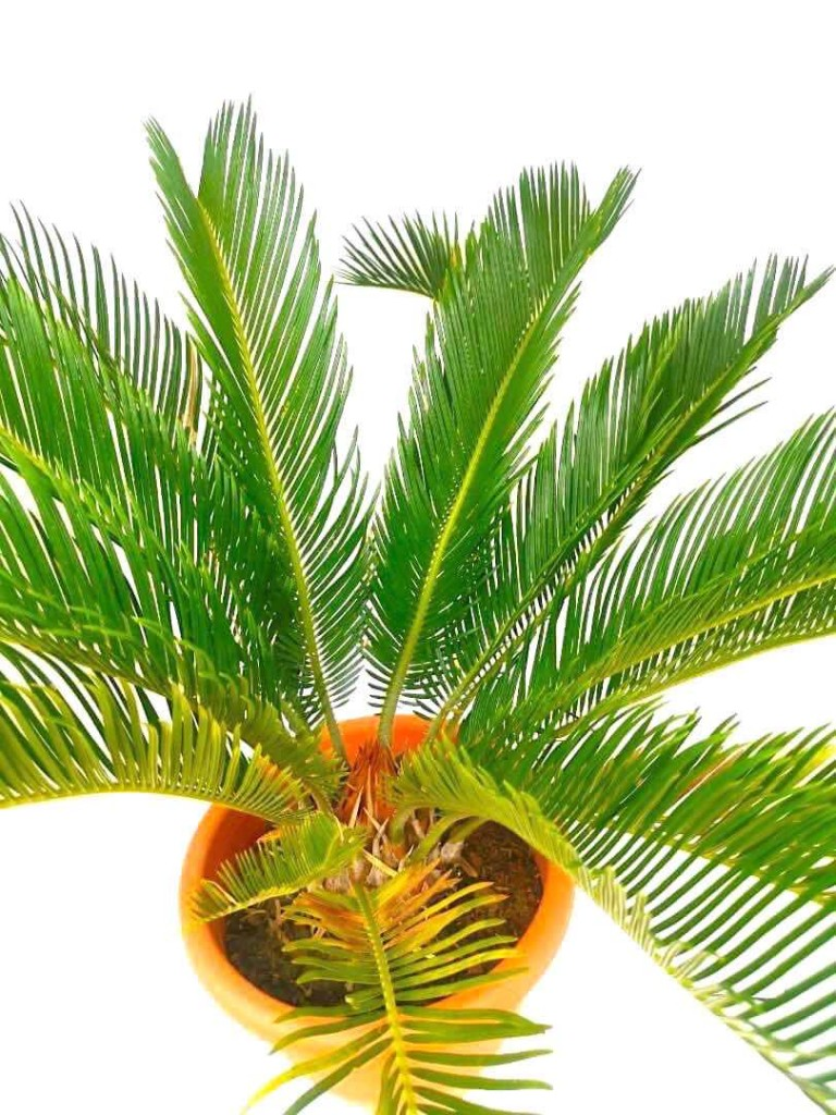Cycas Palm 26 cm (D) » Foliage