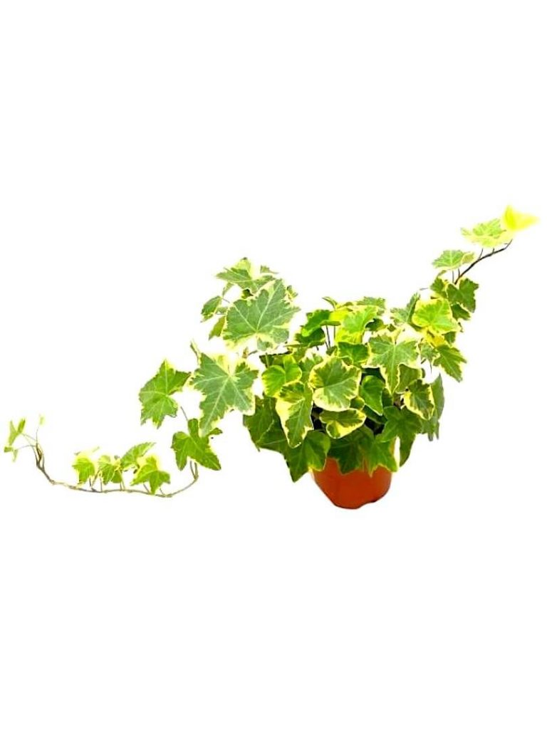 English Ivy Variegated » Exotic Foliage