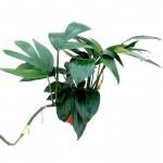 Epipremnum Pinnatum 'Dragon Tail'