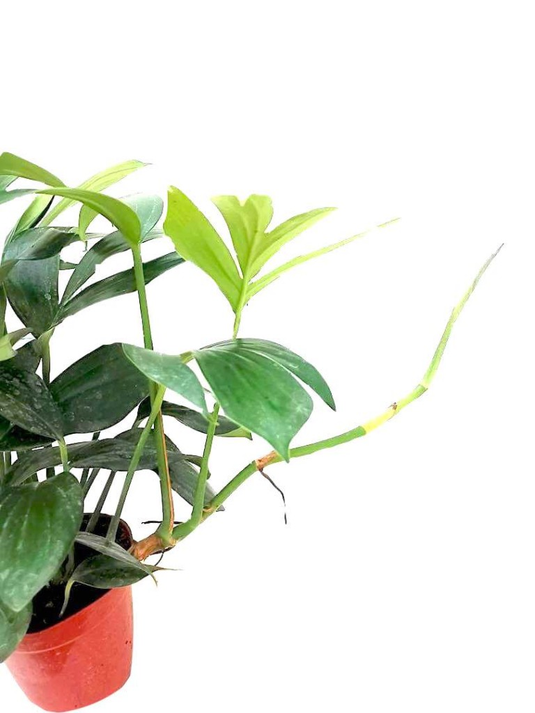 Epipremnum Dragon Tail » Foliage