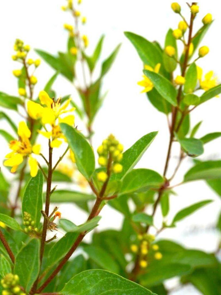 Galphimia Glauca / Golden Thryallis Yellow Flowers » Flowering Plants