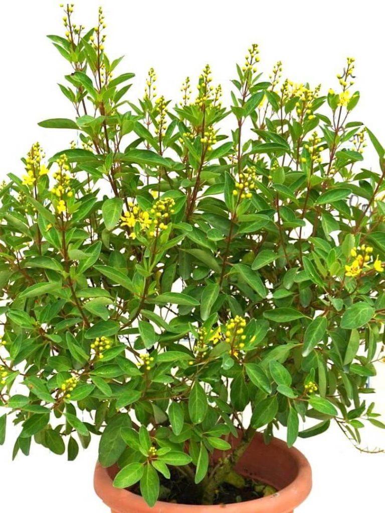 Galphimia Glauca / Golden Thryallis Plant » Flowering Plants