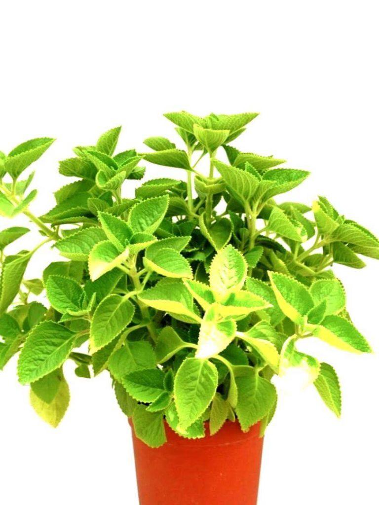 Indian Borage » Herbs 'n' Spices