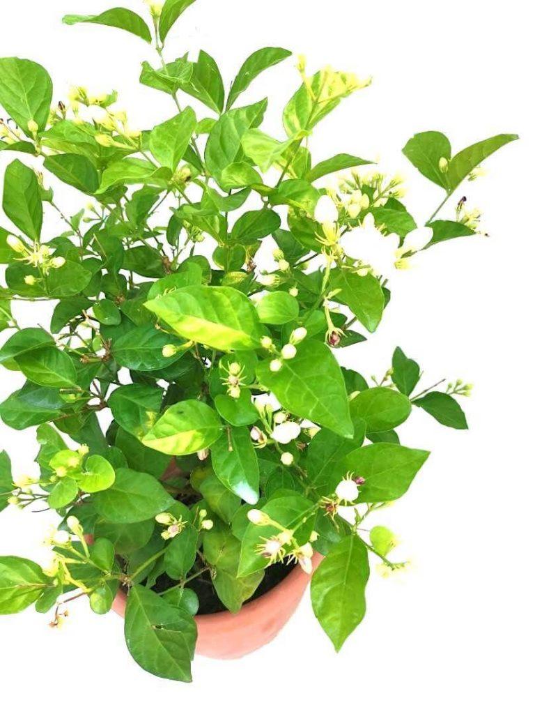 Jasmine - Single Layer » Flowering Plants