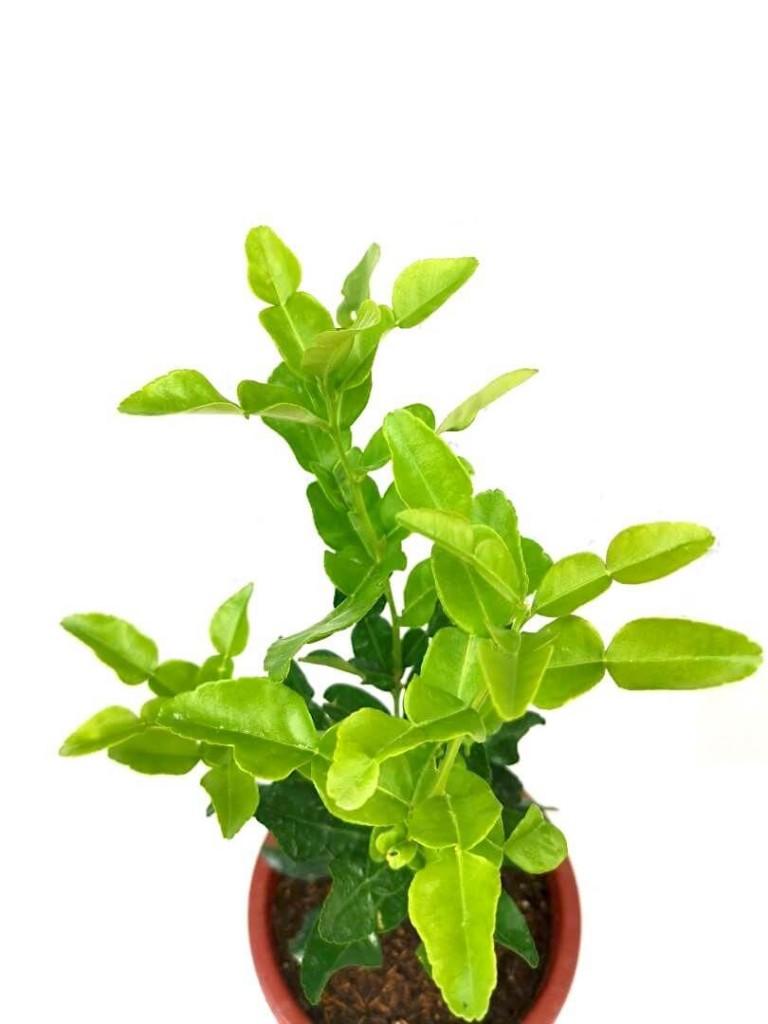 Kaffir Lime / Limau Purut (Citrus Hystrix) » Herbs 'n' Spices