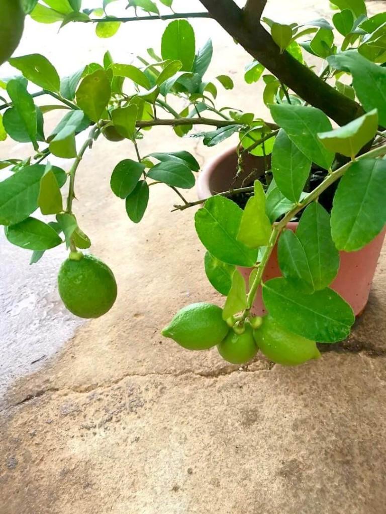 Lemons » Fruit Trees