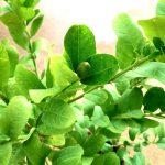Lemon » Fruit Trees