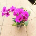 Mini Dendrobium Orchid