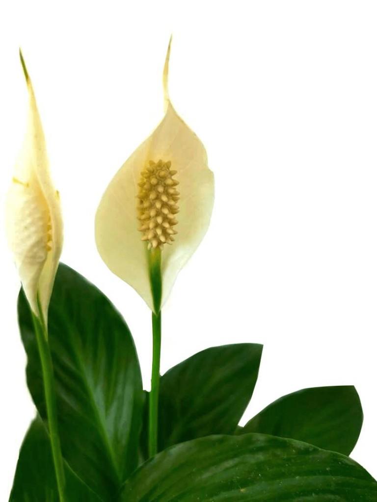 Peace Lilies » Flowering Plants