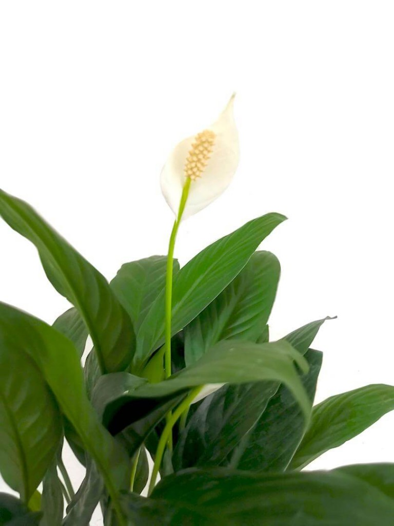 Peace Lily » Flowering Plants