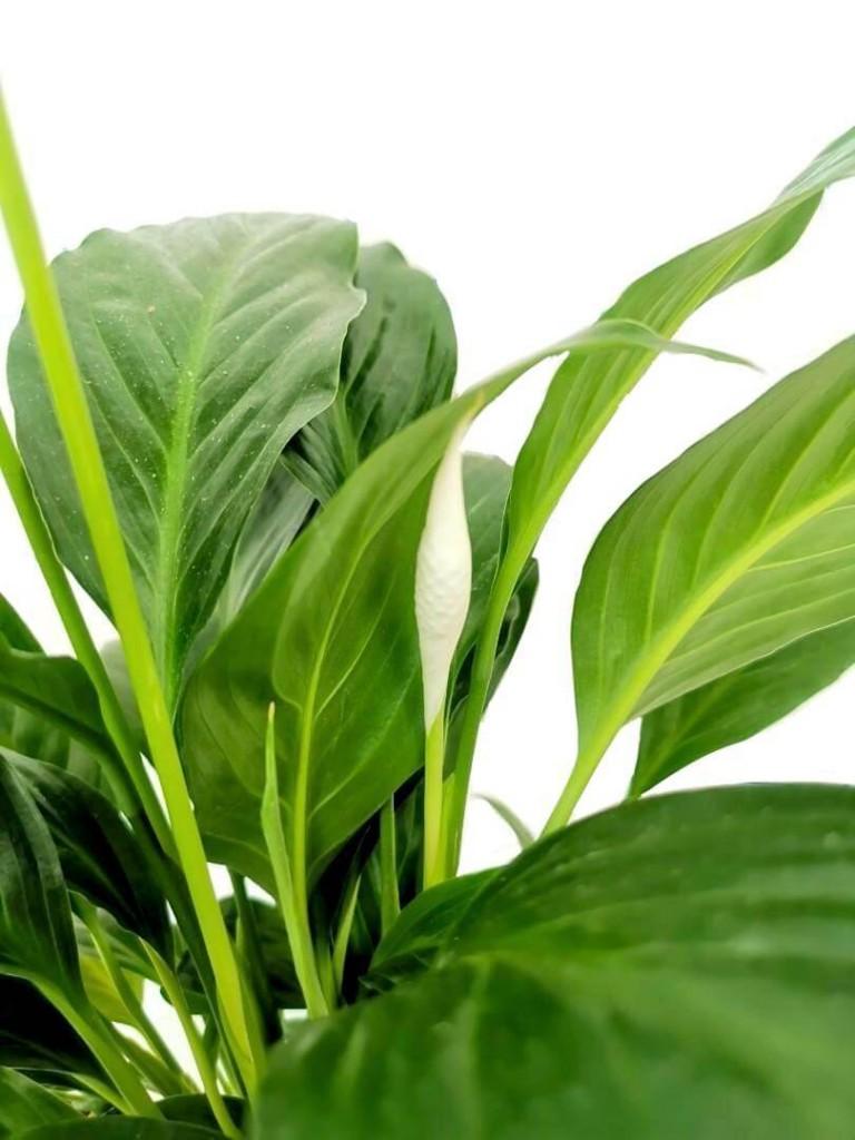 Peace Lily Flower Bud » Flowering Plants