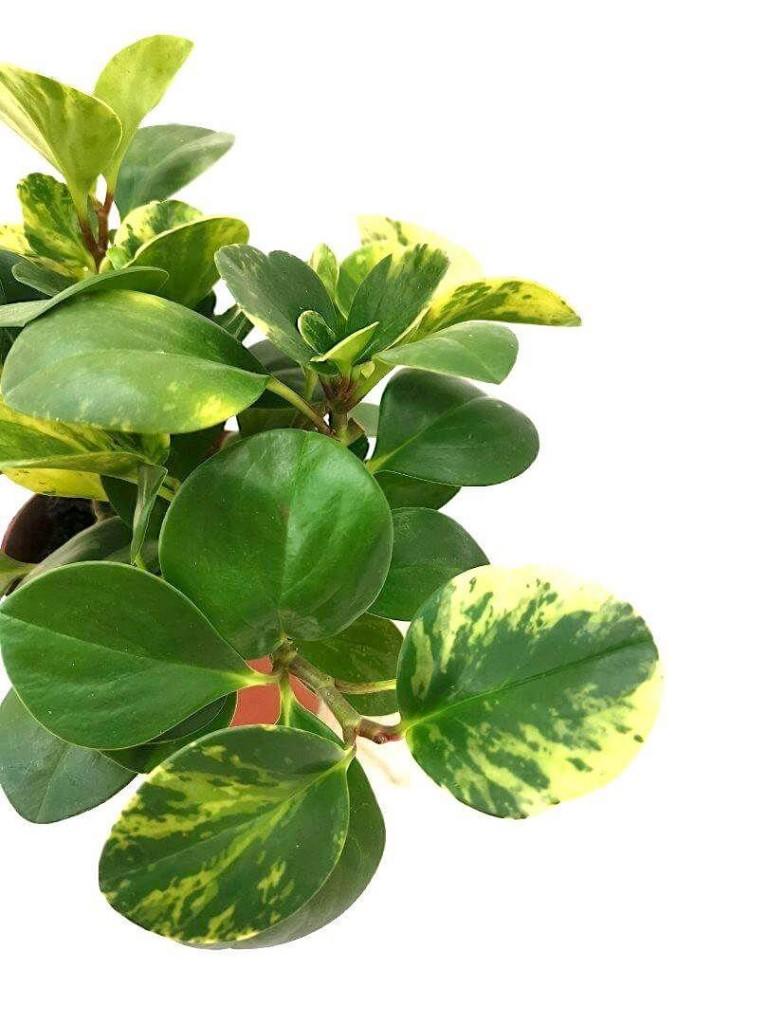 Peperomia Obtusifolia Variegated » Foliage
