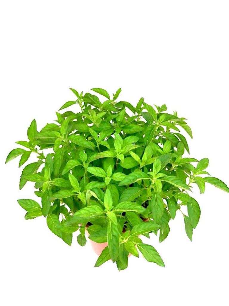 Peppermint Plant » Herbs n' Spices