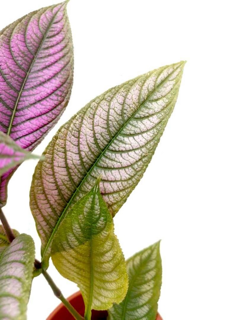Shimmery Persian Shield Leaves » Foliage