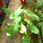 Philodendron Burle Marx Variegated