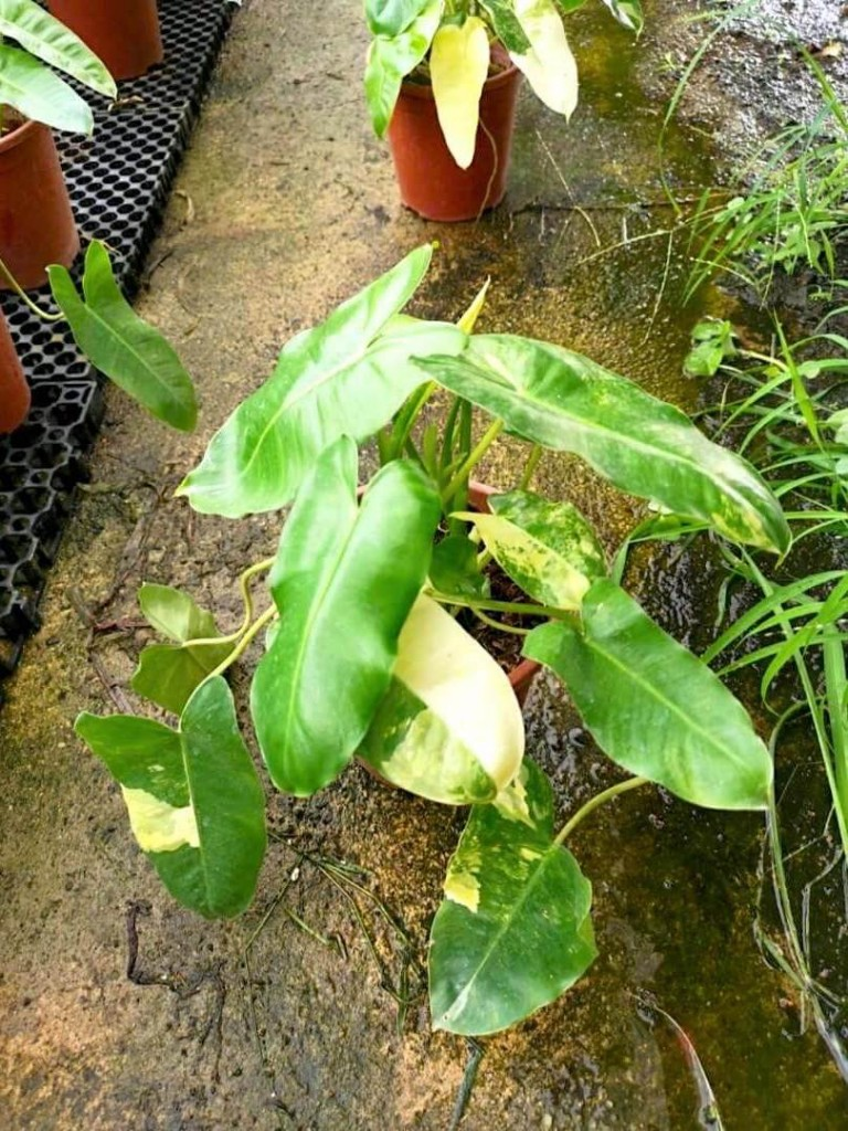 Philodendron Burle Marx » Exotic Foliage