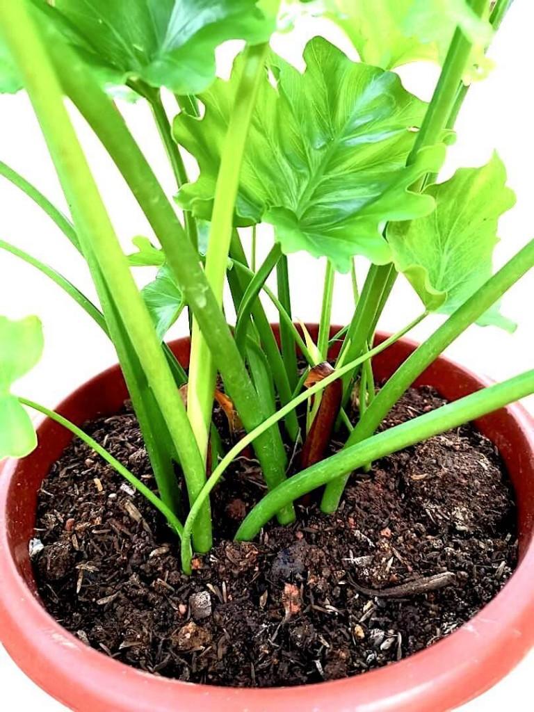 Philodendron Selloum » Exotic Foliage