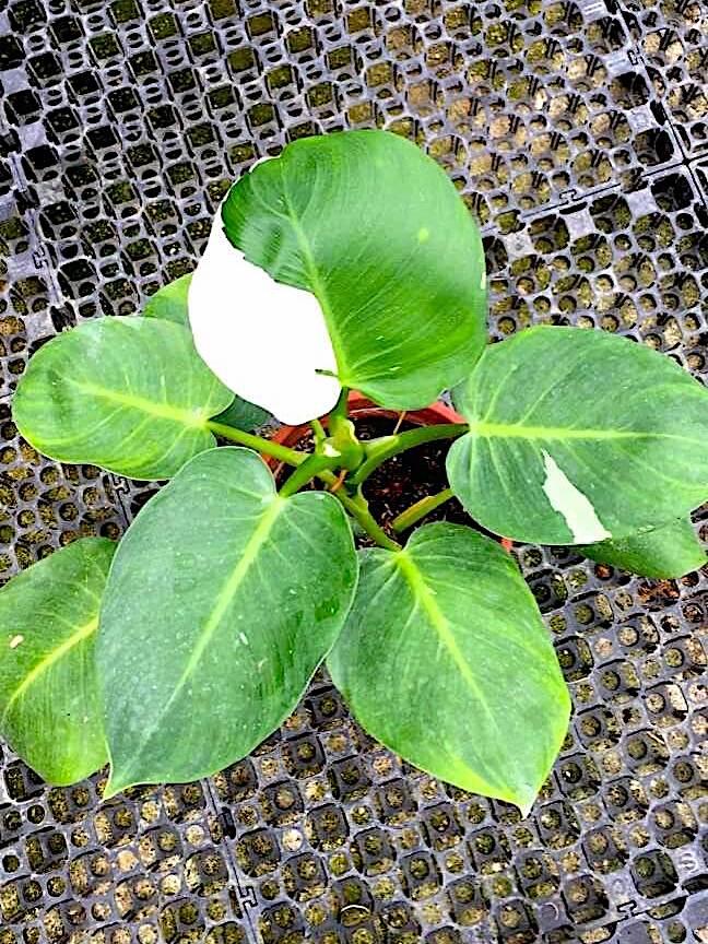 Philodendron White Wizard » Foliage
