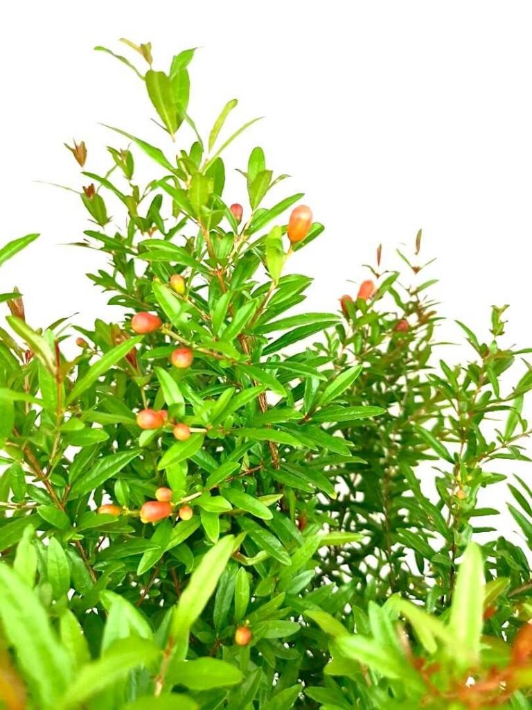 Pomegranate » Fruit Trees