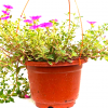 Portulaca Hanging Plant » Flowering Plants