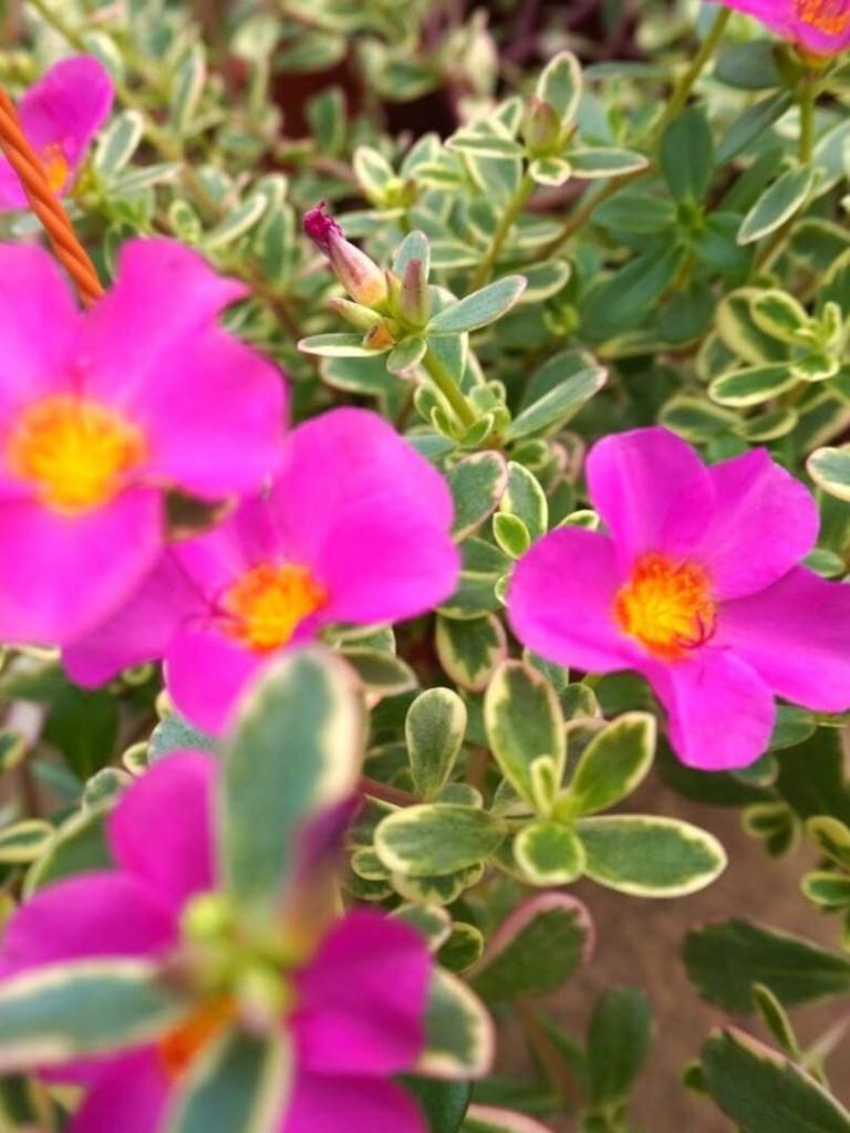 Portulaca Hanging Plant Flowers » Flowering Plants