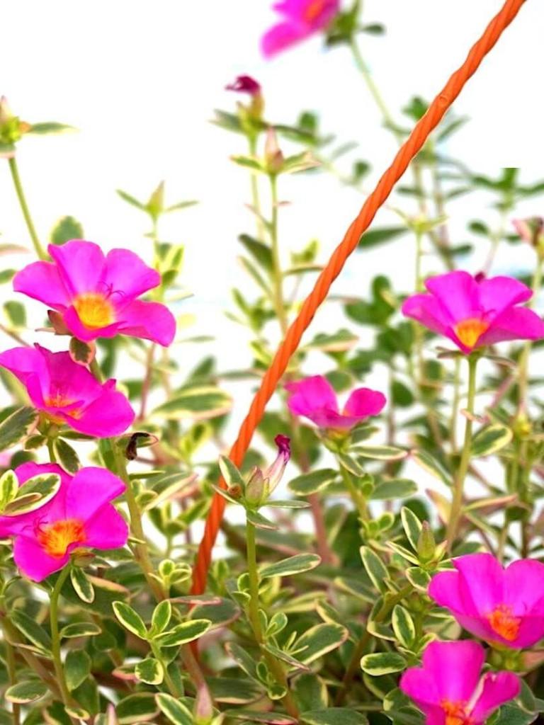 Portulaca Flowers » Flowering Plants