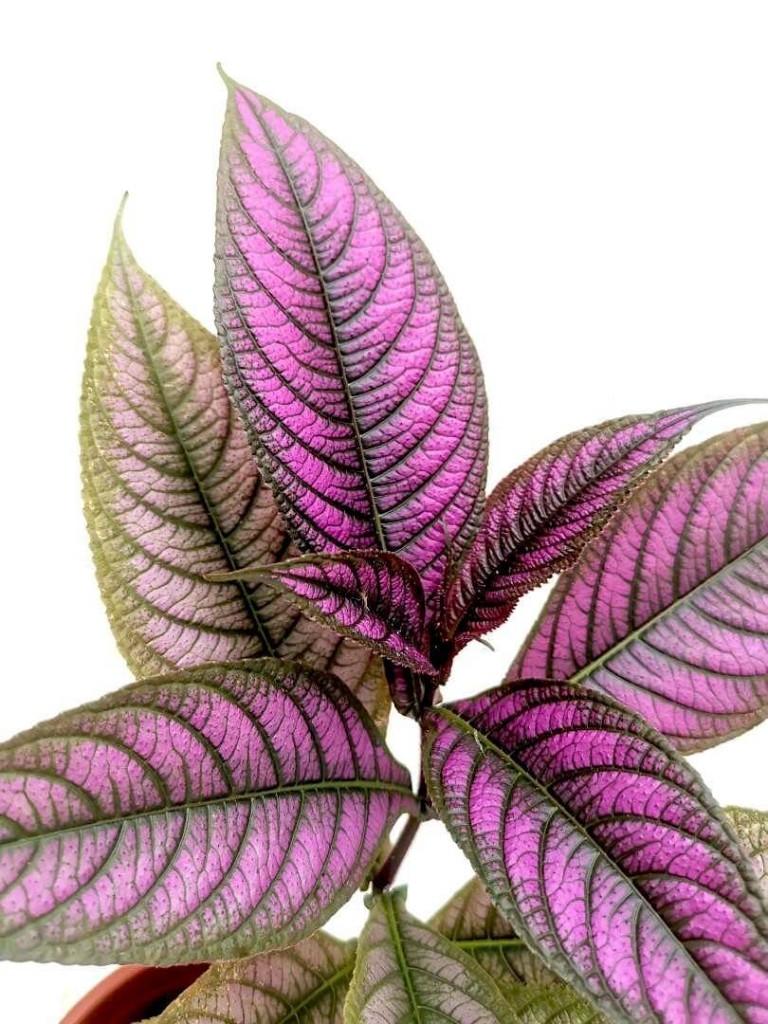 Purple Persian Shield » Foliage