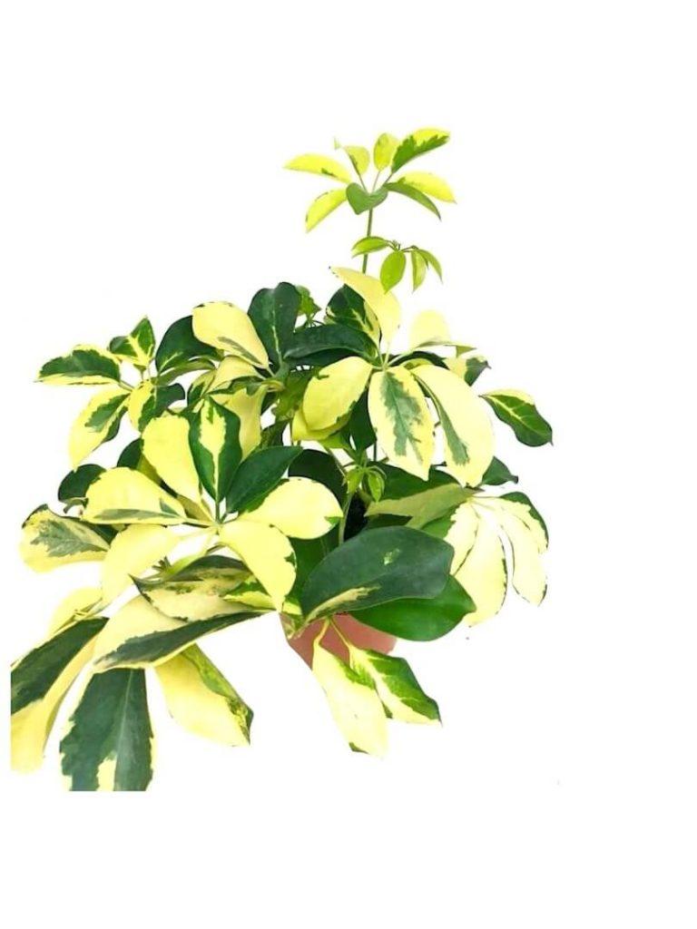 Schefflera Variegated » Foliage
