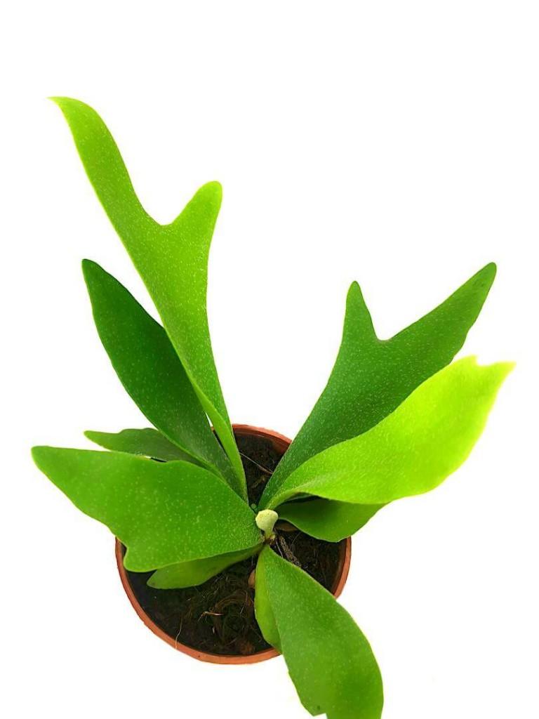 Staghorn Fern Mini / Platycerium » Foliage