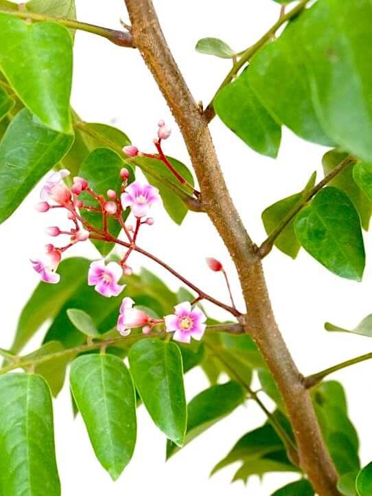 Averrhoa Carambola (Starfruit) Flowers » Fruit Trees