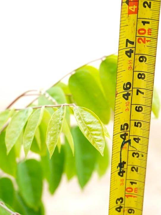 Averrhoa Carambola (Starfruit) Plant Height » Fruit Trees