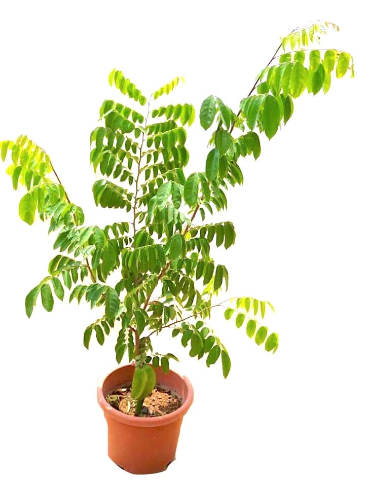 Averrhoa Carambola (Starfruit) Plant » Fruit Trees