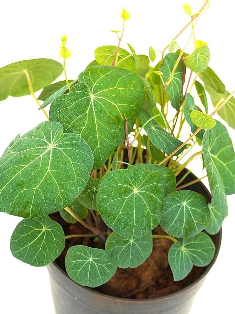 Stephania Erecta - Pot Diameter 15 cm » Foliage