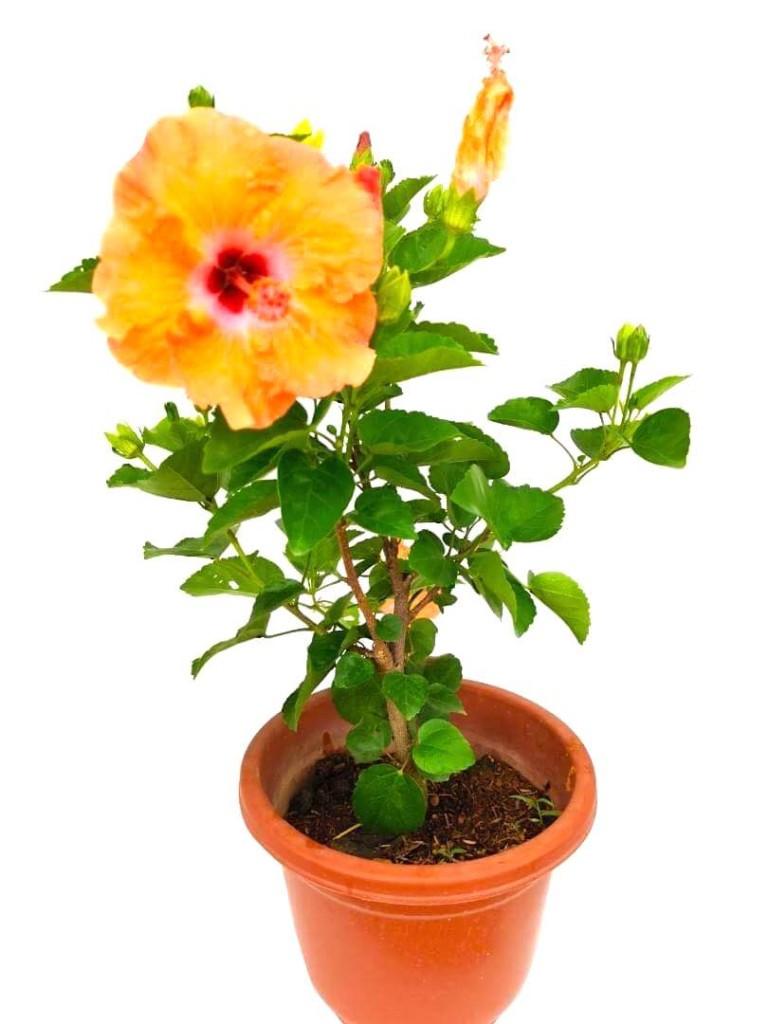 Thailand Hibiscus Orange Flowers » Flowering Plants