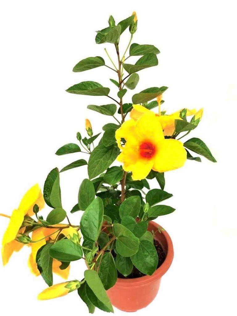 Thailand Hibiscus Yellow Flowers » Flowering Plants