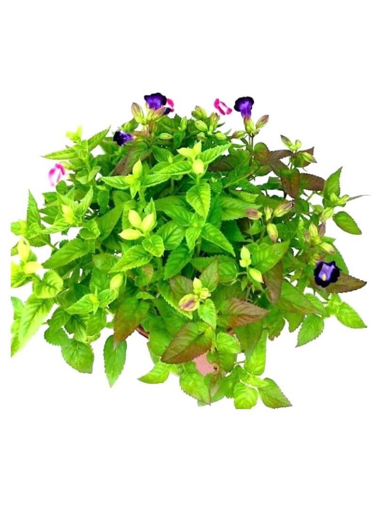 Torenia » Flowering Plants