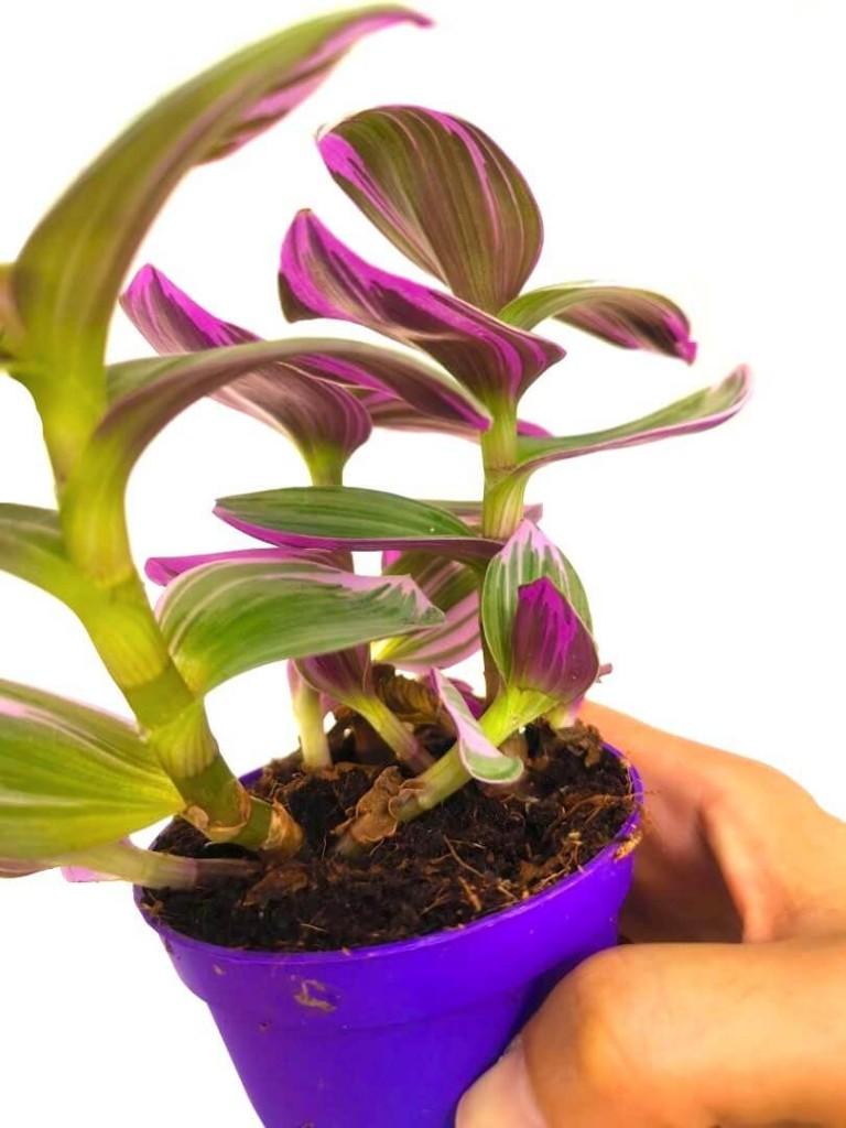 Tradescantia Nanouk Plant » Foliage