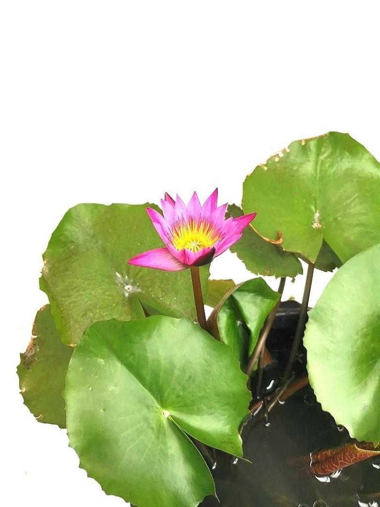 Water Lily Flower » Flowering Plants
