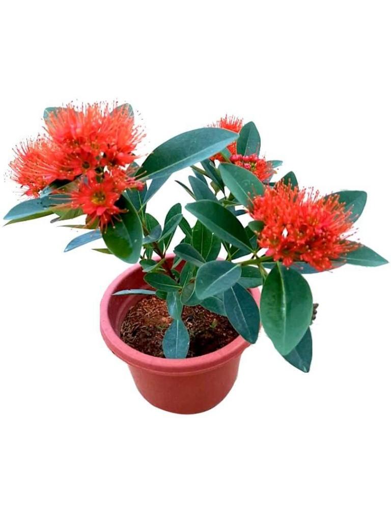 Xanthostemon Youngii » Flowering Plants